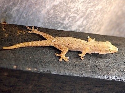 picture of common house gecko in malaysia