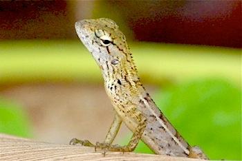 garden fence lizard found in malaysia