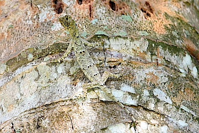 picture of a flying lizard on a tree