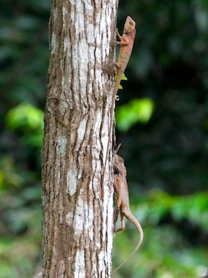 photo of garden fence lizards on tree