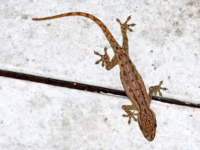 picture of a gecko lizard