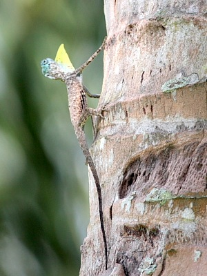 picture of gliding lizard in malaysia