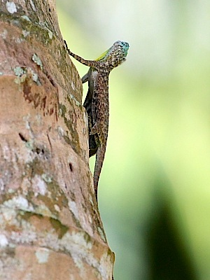picture of a gliding or flying lizard in malaysia