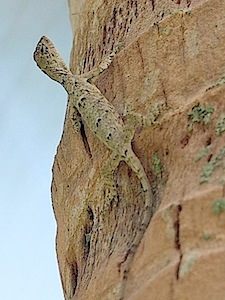photo of a gliding or flying lizard in malaysia