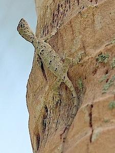 photo of a gliding lizard found in malaysia