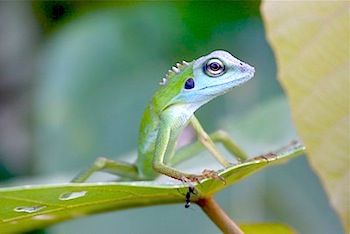 picture of a green-crested lizard in malaysia