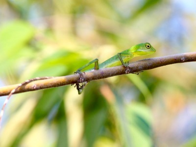 picture of green crested lizard found in Malaysia