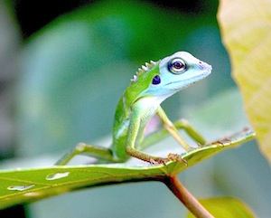 picture of green-crested lizard