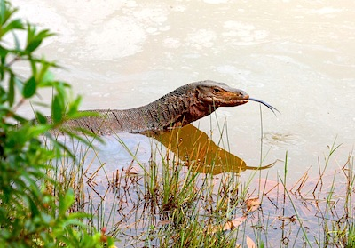 picture of a Malaysian monitor lizard swimming in water