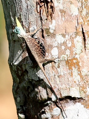 image of a flying lizard in malaysia