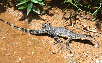 image of a water monitor lizard in malaysia