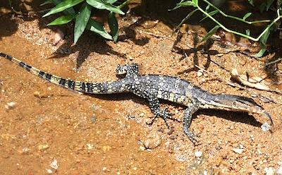 image of a water monitor lizard in malaysia