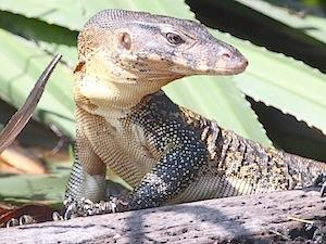 water monitor lizard of malaysia