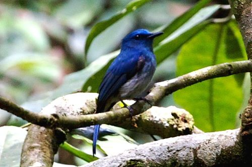 malaysian pale blue flycatcher