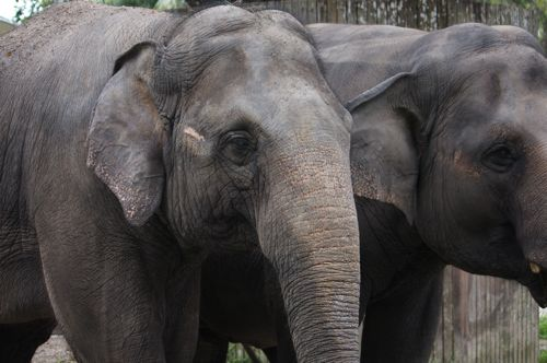 malaysian asian elephant photo
