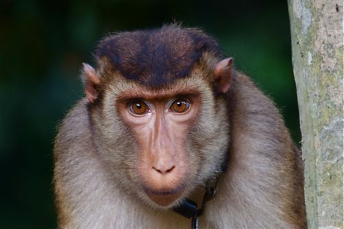 picture of pig-tailed macaque of malaysia