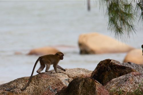 a baby long-tailed macaque near the sea-shore photo