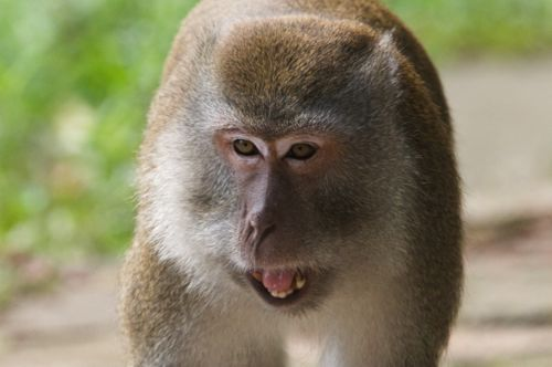 pigtailed macaque of malaysia photo