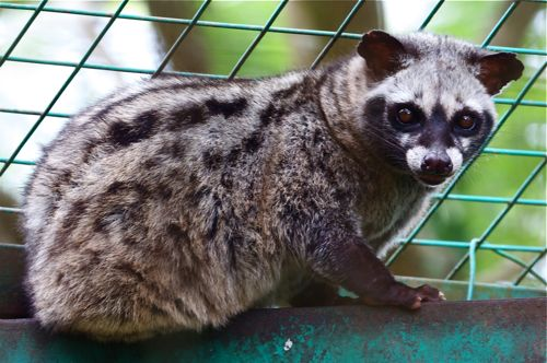 picture of malayan civet or musang
