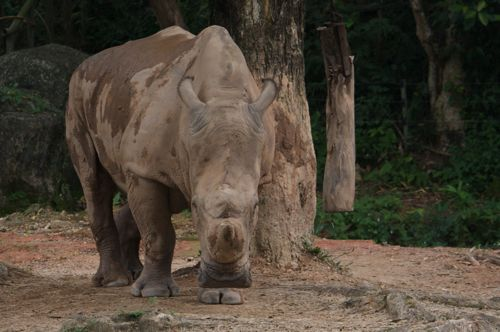 picture of sumatran rhino