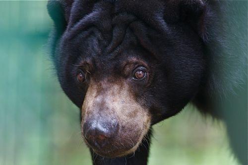 malayan sun bear photo