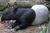 picture of malayan tapir