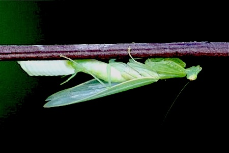 female mantis laying eggs on stem