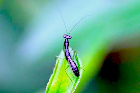 image of a nymph of a malaysian mantis