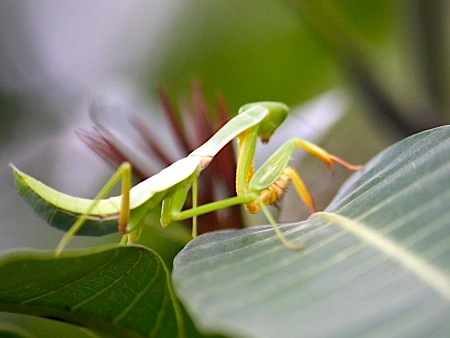 malaysian praying mantis picture