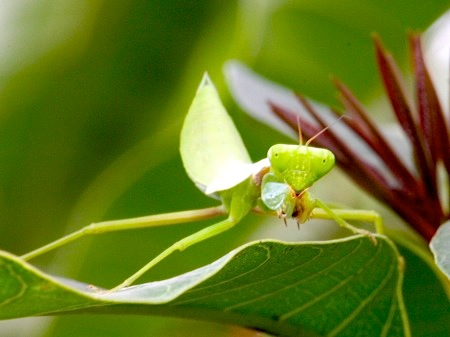 picture of a malaysian mantis