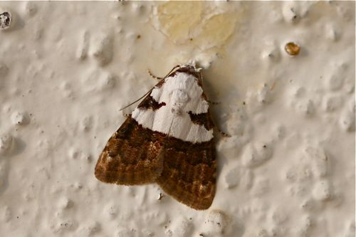 picture of moth of malaysia