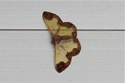 picture of a moth in malaysia