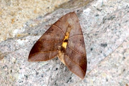 moth photo (female)