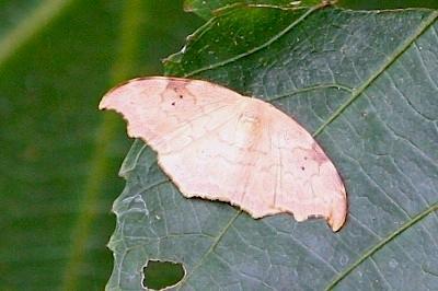 moth photo (female)