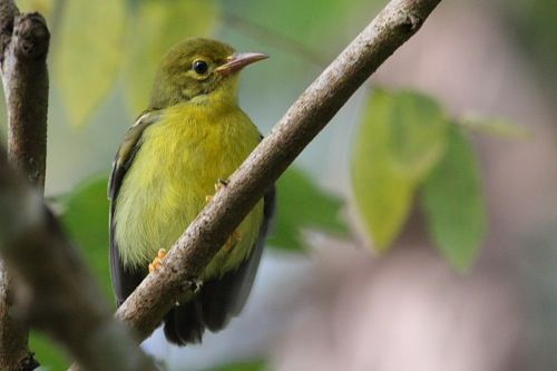 olive-backed sunbird in Malaysia