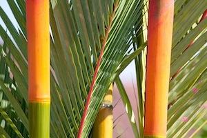 palms in malaysia