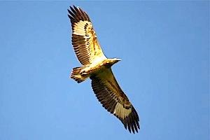 graceful flight of eagle