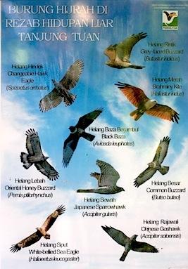 poster of raptors at tanjung tuan, malaysia
