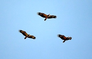 eagles flying high in the sky in malaysia
