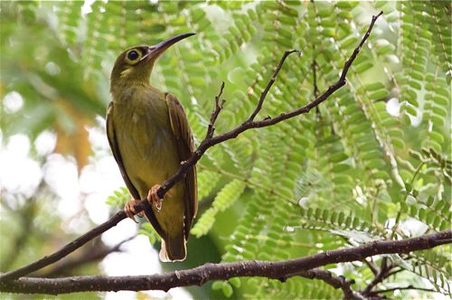 spectacled spiderhunter in malaysia