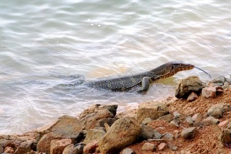 water monitor lizard at lake kenyir, malaysia