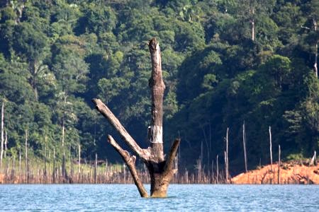picture of a submerged tree in kenyir lake, malaysia