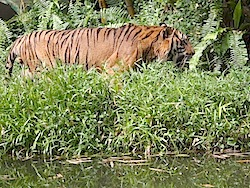 photo of malayan tiger near water