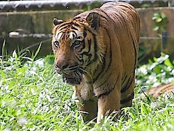 photo of malayan tiger in zoo