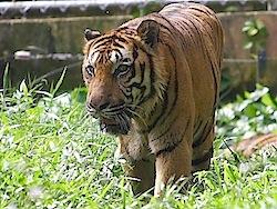 photo of malayan tiger in zoo
