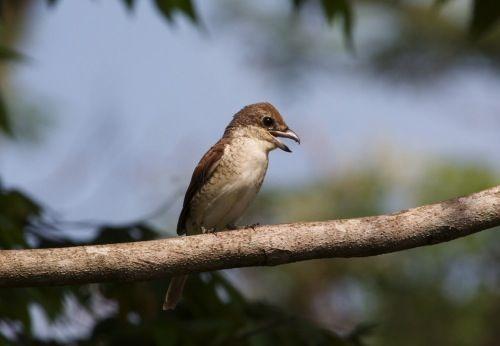 Birds of Malaysia