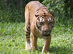 tiger on the prowl picture