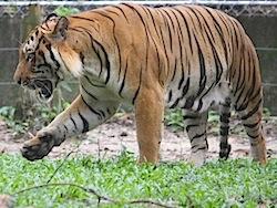 image of a malayan tiger