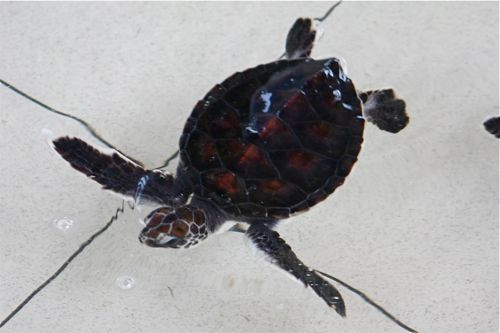 picture of a day-old green turtle hatchling