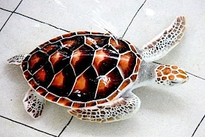 picture of green turtle
